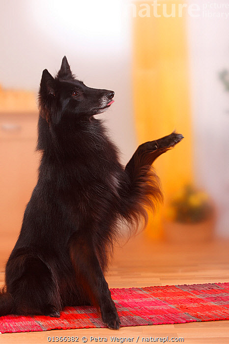 Groenendael / Belgian Shepherd Dog, lifting paw.  ,  BLACK,CUTE,DOGS,INDOORS,LARGE DOGS,OBEDIENCE,PASTORAL DOGS,PETS,PORTRAITS,SITTING,STUDIO,VERTEBRATES,VERTICAL,Canids  ,  Petra Wegner