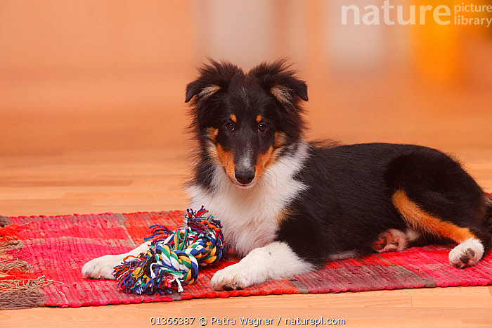 Sheltie / Shetland Sheepdog puppy, 4 1/2 months, with toy.  ,  BABIES,CUTE,DOGS,INDOORS,LOOKING AT CAMERA,LYING,MEDIUM DOGS,PASTORAL DOGS,PETS,PORTRAITS,PUP,PUPPIES,PUPPY,PUPS,SHELTIE,STUDIO,VERTEBRATES,YOUNG,Canids  ,  Petra Wegner