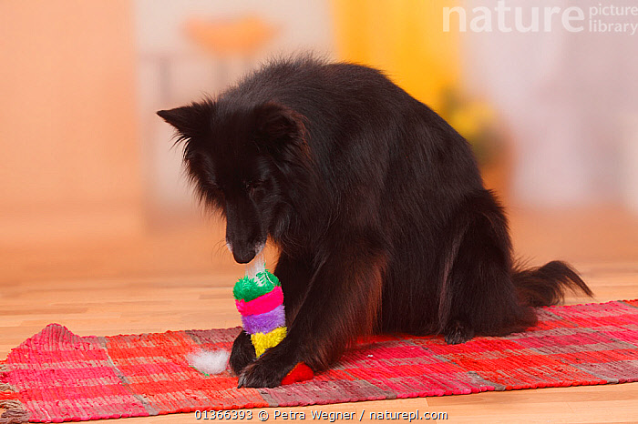 Groenendael / Belgian Shepherd Dog destroying toy.  ,  BLACK,CUTE,DOGS,INDOORS,LARGE DOGS,NAUGHTY,PASTORAL DOGS,PETS,PLAY,PLAYING,PORTRAITS,STUDIO,TOY,VERTEBRATES,Communication,Canids  ,  Petra Wegner