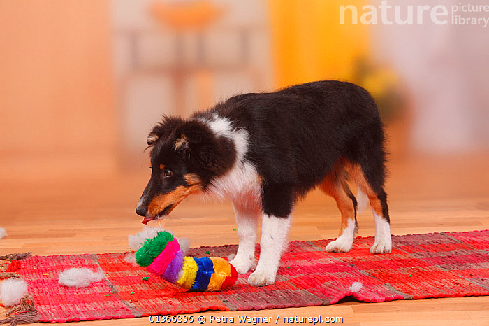 Sheltie / Shetland Sheepdog puppy, 4 1/2 months, destroying toy.  ,  BABIES,CUTE,DOGS,INDOORS,MEDIUM DOGS,NAUGHTY,PASTORAL DOGS,PETS,PLAY,PLAYING,PORTRAITS,PUP,PUPPIES,PUPPY,PUPS,SHELTIE,STANDING,STUDIO,TOY,VERTEBRATES,YOUNG,Communication,Canids  ,  Petra Wegner