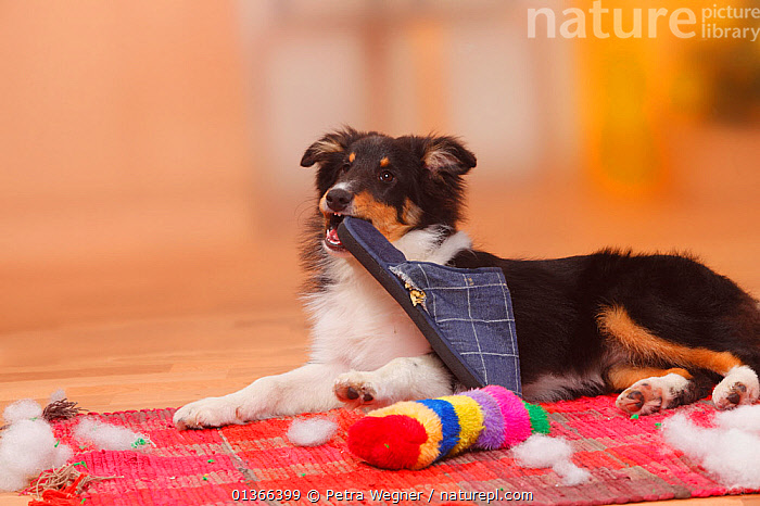 Sheltie / Shetland Sheepdog puppy, 4 1/2 months, chewing on slipper and destroying toy.  ,  BABIES,CUTE,DOGS,INDOORS,LOOKING AT CAMERA,MEDIUM DOGS,NAUGHTY,PASTORAL DOGS,PETS,PLAY,PLAYING,PORTRAITS,PUP,PUPPIES,PUPPY,PUPS,SHELTIE,STUDIO,TOY,VERTEBRATES,YOUNG,Communication,Canids  ,  Petra Wegner