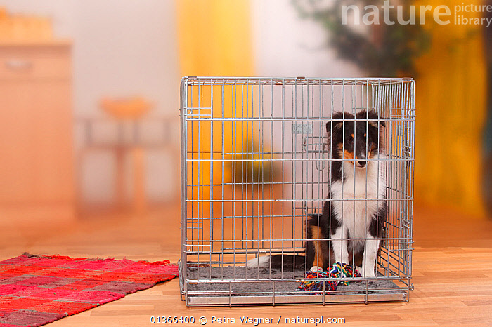 Sheltie / Shetland Sheepdog puppy, 4 1/2 months, in cage.  ,  BABIES,CAGE,CUTE,DOGS,INDOORS,KENNEL,LOOKING AT CAMERA,MEDIUM DOGS,PASTORAL DOGS,PETS,PORTRAITS,PUP,PUPPIES,PUPPY,PUPS,SHELTIE,SITTING,STUDIO,VERTEBRATES,YOUNG,Canids  ,  Petra Wegner