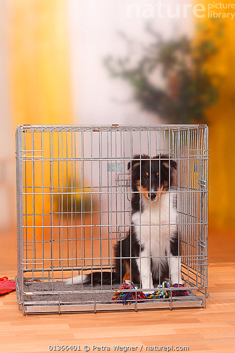 Sheltie / Shetland Sheepdog puppy, 4 1/2 months, in cage.  ,  BABIES,BOX,CAGE,CUTE,DOGS,INDOORS,LOOKING AT CAMERA,MEDIUM DOGS,PASTORAL DOGS,PETS,PORTRAITS,PUP,PUPPIES,PUPPY,PUPS,SHELTIE,SITTING,STUDIO,VERTEBRATES,VERTICAL,YOUNG,Canids  ,  Petra Wegner