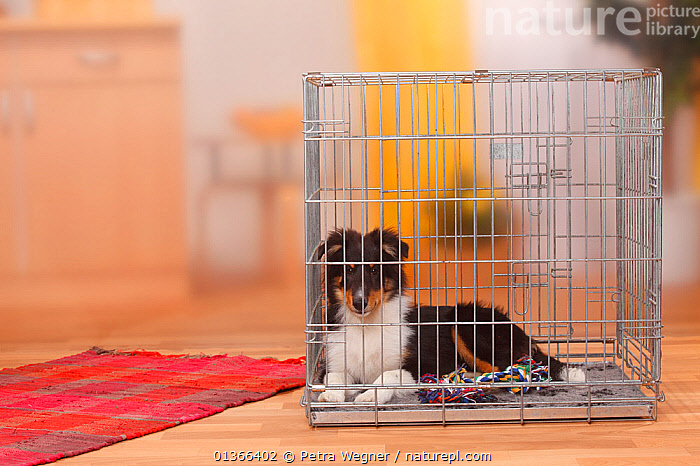 Sheltie / Shetland Sheepdog puppy, 4 1/2 months, in cage.  ,  BABIES,CUTE,DOGS,INDOORS,LOOKING AT CAMERA,LYING,MEDIUM DOGS,PASTORAL DOGS,PETS,PORTRAITS,PUP,PUPPIES,PUPPY,PUPS,SHELTIE,STUDIO,VERTEBRATES,YOUNG,Canids  ,  Petra Wegner