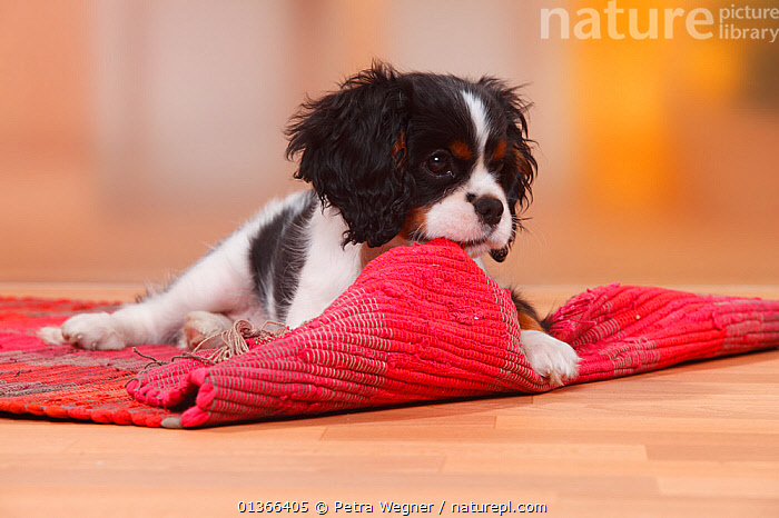 Cavalier King Charles Spaniel puppy, tricolour, 13 weeks, chewing at carpet.  ,  BABIES,CUTE,DOGS,INDOORS,LOOKING AT CAMERA,NAUGHTY,PETS,PLAY,PLAYING,PORTRAITS,PUP,PUPPIES,PUPPY,PUPS,SMALL DOGS,STUDIO,TOY,TOY DOGS,VERTEBRATES,YOUNG,Communication,Canids  ,  Petra Wegner