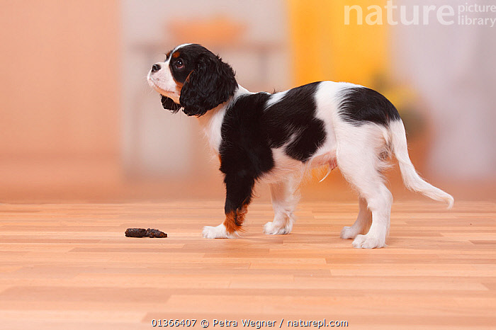 Cavalier King Charles Spaniel puppy, tricolour, 13 weeks, staning by excrement.  ,  BABIES,CUTE,DOGS,HOUSE TRAINING,INDOORS,NAUGHTY,PETS,PORTRAITS,PROFILE,PUP,PUPPIES,PUPPY,PUPS,SMALL DOGS,STANDING,STUDIO,TOY DOGS,VERTEBRATES,YOUNG,Canids  ,  Petra Wegner