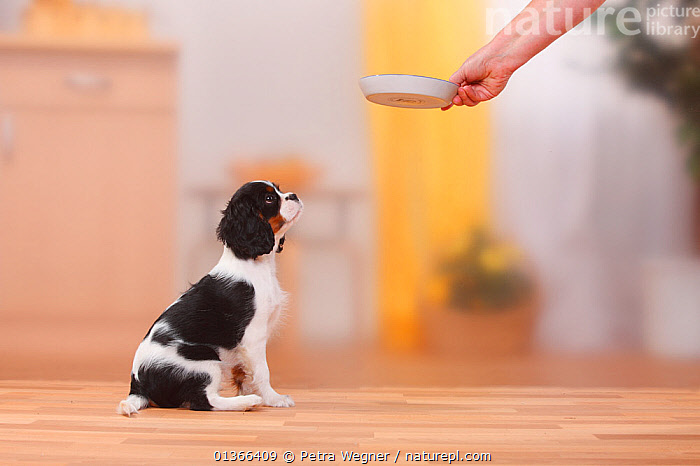Cavalier King Charles Spaniel puppy, tricolour, 13 weeks, awaiting food in a bowl.  ,  BABIES,CUTE,DOGS,FEEDING,INDOORS,PETS,PORTRAITS,PROFILE,PUP,PUPPIES,PUPPY,PUPS,SITTING,SMALL DOGS,STUDIO,TOY DOGS,VERTEBRATES,YOUNG,Canids  ,  Petra Wegner
