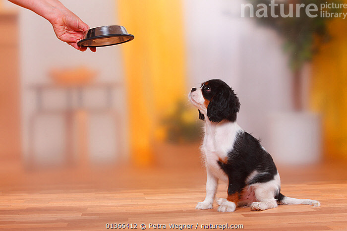 Cavalier King Charles Spaniel puppy, tricolour, 13 weeks, waiting for food.  ,  BABIES,CUTE,DOGS,FEEDING,FOOD,INDOORS,PETS,PORTRAITS,PUP,PUPPIES,PUPPY,PUPS,SITTING,SMALL DOGS,STUDIO,TOY DOGS,VERTEBRATES,YOUNG,Canids  ,  Petra Wegner