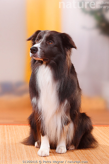 Border Collie, blue, male.  ,  CUTE,DOGS,INDOORS,LOOKING AT CAMERA,MEDIUM DOGS,PASTORAL DOGS,PETS,PORTRAITS,SITTING,STUDIO,VERTEBRATES,VERTICAL,Canids  ,  Petra Wegner