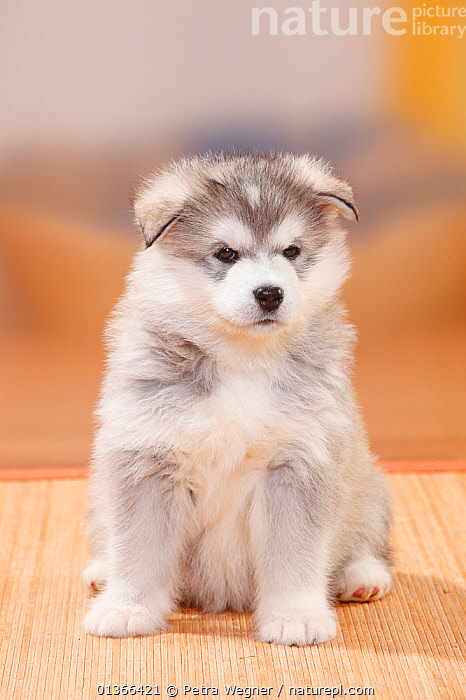 Alaskan Malamute puppy, 6 weeks.  ,  BABIES,CUTE,DOGS,INDOORS,LARGE DOGS,LOOKING AT CAMERA,PETS,PORTRAITS,PUP,PUPPIES,PUPPY,PUPS,SITTING,STUDIO,VERTEBRATES,VERTICAL,WORKING DOGS,YOUNG,Canids  ,  Petra Wegner
