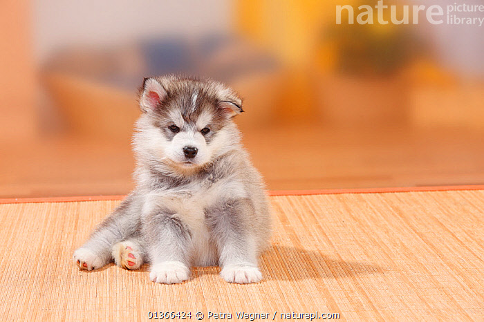 Alaskan Malamute, puppy, 6 weeks.  ,  BABIES,CUTE,DOGS,INDOORS,LARGE DOGS,LOOKING AT CAMERA,PETS,PORTRAITS,PUP,PUPPIES,PUPPY,PUPS,SITTING,STUDIO,VERTEBRATES,WORKING DOGS,YOUNG,Canids  ,  Petra Wegner