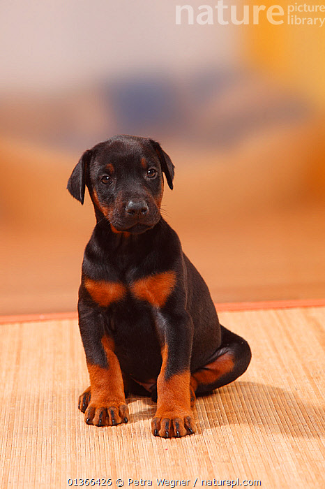 Dobermann Pinscher puppy, 5 weeks.  ,  BABIES,CUTE,DOGS,INDOORS,LARGE DOGS,LOOKING AT CAMERA,PETS,PORTRAITS,PUP,PUPPIES,PUPPY,PUPS,SITTING,STUDIO,VERTEBRATES,VERTICAL,WORKING DOGS,YOUNG,Canids  ,  Petra Wegner
