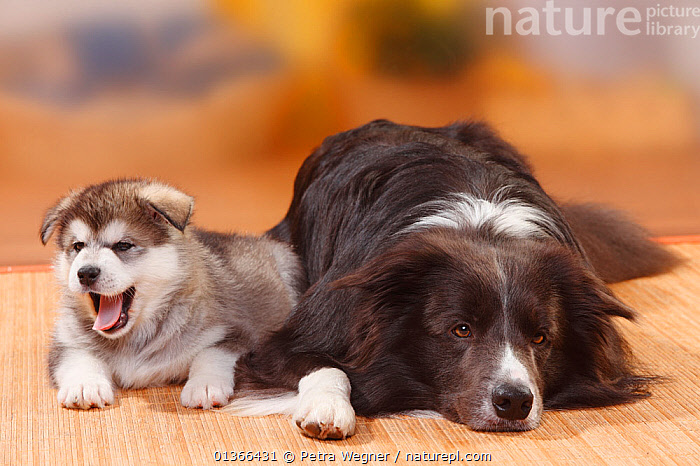 Border Collie, blue, and Alaskan Malamute puppy, 6 weeks.  ,  BABIES,CUTE,DOGS,FRIENDS,GROUPS,INDOORS,LARGE DOGS,LOOKING AT CAMERA,LYING,MEDIUM DOGS,MIXED BREED,PASTORAL DOGS,PETS,PORTRAITS,PUP,PUPPIES,PUPPY,PUPS,RESTING,SLEEPING,STUDIO,VERTEBRATES,WORKING DOGS,YAWNING,YOUNG,Canids  ,  Petra Wegner