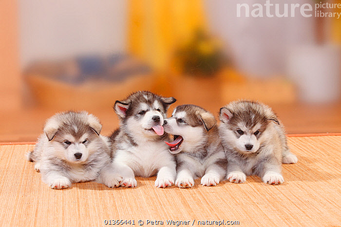 Alaskan Malamutes puppies, 6 weeks.  ,  BABIES,COLOUR COORDINATED,CUTE,DOGS,FAMILIES,FOUR,FRIENDS,GROUPS,INDOORS,LARGE DOGS,LOOKING AT CAMERA,LYING,PETS,PORTRAITS,SIBLINGS,SMALL,STUDIO,VERTEBRATES,WORKING DOGS,YOUNG,Canids  ,  Petra Wegner
