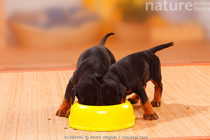 Dobermann Pinscher puppies, 5 weeks, feeding from bowl., BABIES,catalogue4,close up,CUTE,Doberman Pinscher,dog bowl,DOGS,eating,enthusiasm,FEEDING,FRIENDS,full length,GROUPS,HUMOROUS,INDOORS,large dogs,looking at camera,Nobody,PETS,PORTRAITS,puppy,side by side,SMALL,STANDING,Studio,two,two animals,VERTEBRATES,working dogs,YELLOW,YOUNG,young animal,Concepts,Canids, Petra Wegner