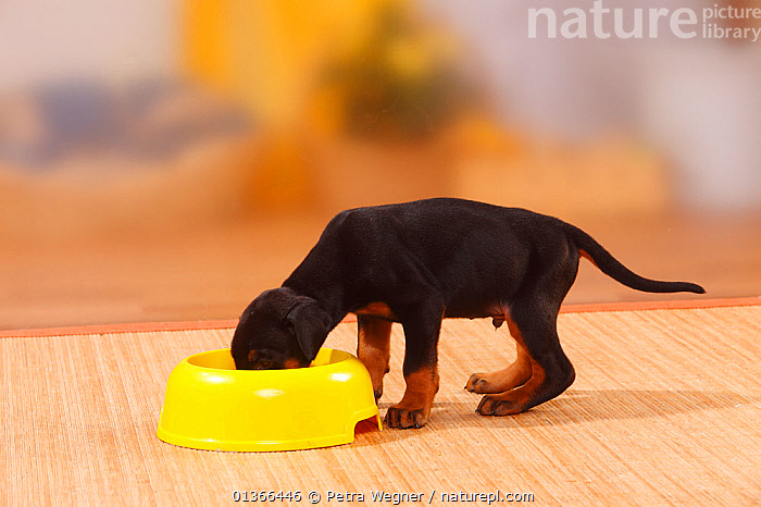 Dobermann Pinscher puppy, 5 weeks, feeding from bowl.  ,  BABIES,CUTE,DOGS,FEEDING,INDOORS,LARGE DOGS,PETS,PORTRAITS,PUP,PUPPIES,PUPPY,PUPS,STUDIO,VERTEBRATES,WORKING DOGS,YOUNG,Canids  ,  Petra Wegner
