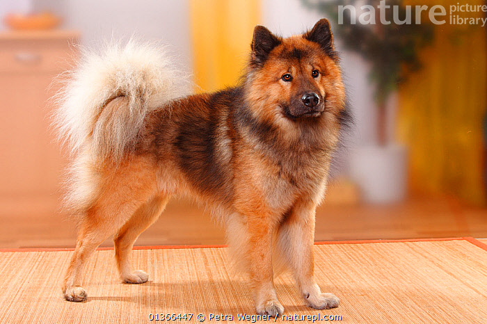 Eurasier, male, standing.  ,  CUTE,DOGS,INDOORS,LOOKING AT CAMERA,MEDIUM DOGS,PETS,PORTRAITS,PROFILE,STUDIO,UTILITY DOGS,VERTEBRATES,Canids  ,  Petra Wegner