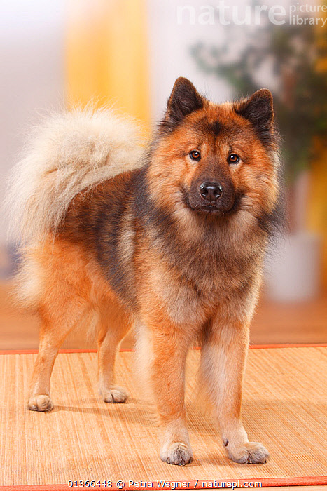Eurasier, male, standing., animal portrait,BROWN,catalogue4,CUTE,DOGS,Eurasier,full frame,FUR,INDOORS,looking at camera,male animal,medium dogs,Nobody,one animal,PETS,PORTRAITS,STANDING,Studio,utility dogs,VERTEBRATES,VERTICAL,Canids, Petra Wegner