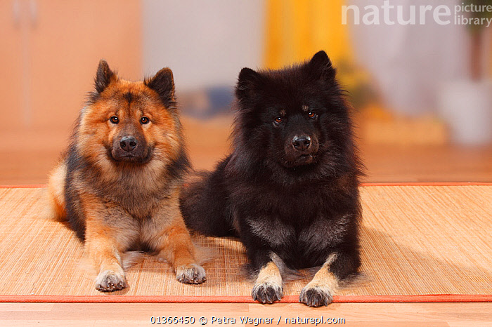 Eurasiers lying.  ,  COLOUR DIMORPHISM,CUTE,DOGS,FRIENDS,GROUPS,INDOORS,LOOKING AT CAMERA,LYING,MEDIUM DOGS,PETS,PORTRAITS,STUDIO,UTILITY DOGS,VERTEBRATES,Canids  ,  Petra Wegner