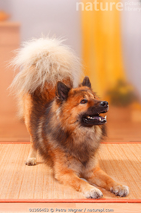 Eurasier, male in a playbow.  ,  CUTE,DOGS,HAPPY,INDOORS,LOOKING AT CAMERA,LYING,MEDIUM DOGS,PETS,PORTRAITS,SMILING,STUDIO,UTILITY DOGS,VERTEBRATES,VERTICAL,Canids  ,  Petra Wegner