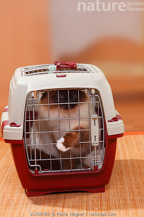 Sacred Cat of Birma / Birman, seal-point, in transport box.  ,  BOX,CATS,CUTE,INDOORS,LOOKING AT CAMERA,PETS,PORTRAITS,STUDIO,VERTEBRATES,VERTICAL,VET,VETERINARIAN,VETERINARY,VETS  ,  Petra Wegner