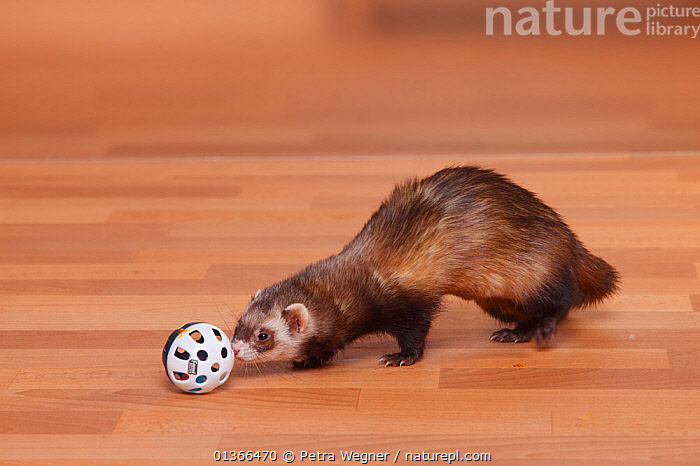 Ferret (Mustela putorius forma domestica) playing with toy.  ,  CARNIVORES,CUTE,INDOORS,MAMMALS,MUSTELIDS,PETS,PLAY,PLAYING,TOY,VERTEBRATES,WEASELS,Communication  ,  Petra Wegner