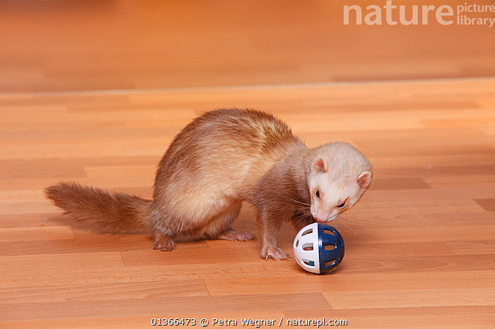 Ferret (Mustela putorius forma domestica) playing with toy.  ,  CARNIVORES,CUTE,INDOORS,MAMMALS,MUSTELIDS,PETS,PLAY,PLAYING,VERTEBRATES,WEASELS,Communication  ,  Petra Wegner