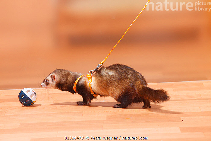 Ferret (Mustela putorius forma domestica) with toy on a harness and leash.  ,  CARNIVORES,CUTE,INDOORS,MAMMALS,MUSTELIDS,PETS,PLAY,PLAYING,TOYS,VERTEBRATES,WEASELS,Communication  ,  Petra Wegner