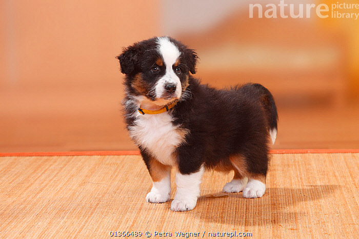 Australian Shepherd puppy, black-tricolour, urinating on carpet.  ,  BABIES,CUTE,DOGS,GUILTY,HOUSE TRAINING,INDOORS,LOOKING AT CAMERA,MEDIUM DOGS,NAUGHTY,PASTORAL DOGS,PETS,PORTRAITS,PUP,PUPPIES,PUPPY,PUPS,URINATING,VERTEBRATES,YOUNG,Canids  ,  Petra Wegner