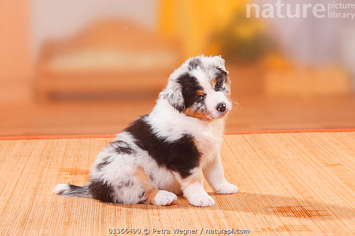 Australian Shepherd puppy, blue-merle.  ,  BABIES,CUTE,DOGS,INDOORS,MEDIUM DOGS,PASTORAL DOGS,PETS,PORTRAITS,PUP,PUPPIES,PUPPY,PUPS,SITTING,VERTEBRATES,YOUNG,Canids  ,  Petra Wegner