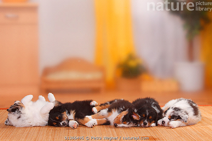 Australian Shepherd puppies, black-tri and blue-merle, sleeping.  ,  BABIES,CUTE,DOGS,FRIENDS,GROUPS,INDOORS,LOOKING AT CAMERA,LYING,MEDIUM DOGS,PASTORAL DOGS,PETS,PORTRAITS,SLEEPING,SMALL,VERTEBRATES,YOUNG,Canids  ,  Petra Wegner