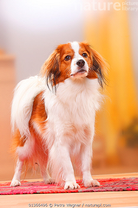 Kooikerhondje / Small Dutch Waterfowl Dog portrait.  ,  animal portrait,anticipation,catalogue4,close up,CUTE,DOGS,EXPRESSIONS,facial expression,front view,full length,INDOORS,Kooikerhondje,looking at camera,looking up,Nobody,one animal,PETS,PORTRAITS,small dogs,STANDING,toy dogs,VERTEBRATES,VERTICAL,Waterfowl dog,white colour,Canids  ,  Petra Wegner