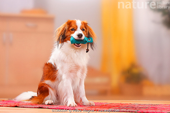 Kooikerhondje / Small Dutch Waterfowl Dog sitting with toy.  ,  CUTE,DOGS,INDOORS,LOOKING AT CAMERA,PETS,PLAY,PLAYING,PORTRAITS,SITTING,SMALL DOGS,TOY,TOY DOGS,VERTEBRATES,Communication,Canids  ,  Petra Wegner