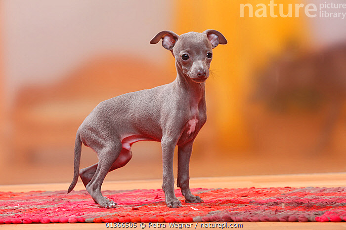 Italian Greyhound puppy, 8 weeks, blue / Piccolo Levriero Italiano.  ,  BABIES,CUTE,DOGS,INDOORS,LOOKING AT CAMERA,PETS,PORTRAITS,PUP,PUPPIES,PUPPY,PUPS,SMALL,SMALL DOGS,STANDING,TINY,TOY DOGS,VERTEBRATES,YOUNG,Canids  ,  Petra Wegner