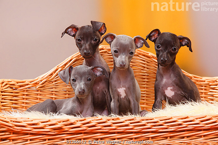 Italian Greyhounds, puppies, 8 weeks / Piccolo Levriero Italiano.  ,  BABIES,COLOUR COORDINATED,CUTE,DOGS,FAMILIES,FRIENDS,GROUPS,INDOORS,LOOKING AT CAMERA,PETS,PORTRAITS,SIBLINGS,SITTING,SMALL,SMALL DOGS,TOY DOGS,VERTEBRATES,YOUNG,Canids  ,  Petra Wegner