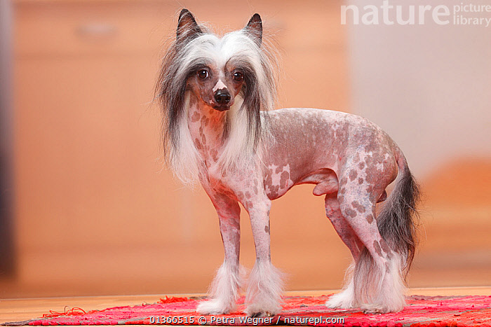 Chinese Crested Dog, hairless.  ,  animal portrait,catalogue4,Chinese Crester Dog,CUTE,DOGS,full length,hairless,INDOORS,looking at camera,Nobody,one animal,PETS,PORTRAITS,PROFILE,side view,STANDING,VERTEBRATES,WEIRD,Canids  ,  Petra Wegner