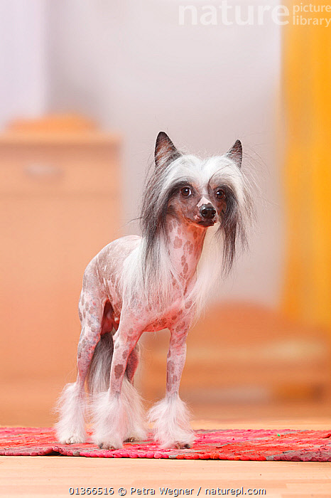 Chinese Crested Dog, hairless.  ,  CUTE,DOGS,INDOORS,LOOKING AT CAMERA,PETS,PORTRAITS,VERTEBRATES,VERTICAL,Canids  ,  Petra Wegner
