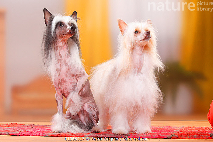 Chinese Crested Dogs, hairless and powderpuff varieties.  ,  CUTE,DOGS,FRIENDS,GROUPS,INDOORS,LOOKING AT CAMERA,PETS,PORTRAITS,SITTING,TWO,VERTEBRATES,Canids  ,  Petra Wegner