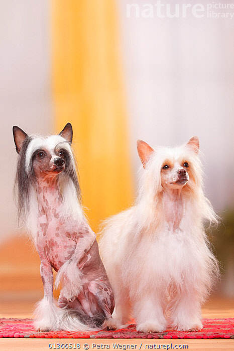 Chinese Crested Dogs, couple, hairless and powderpuff varieties.  ,  COLOUR DIMORPHISM,CUTE,DOGS,FAMILIES,FRIENDS,GROUPS,INDOORS,LOOKING AT CAMERA,PETS,PORTRAITS,SIBLINGS,SITTING,TWO,VERTEBRATES,VERTICAL,Canids  ,  Petra Wegner