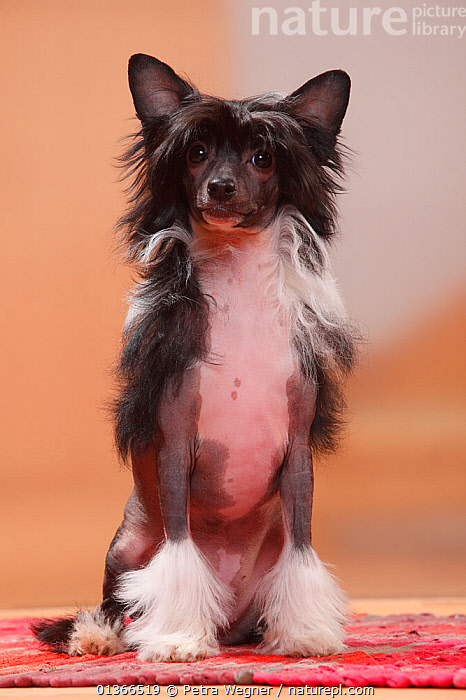 Chinese Crested Dog, hairless puppy, 4 1/2 months / bitch.  ,  BABIES,CUTE,DOGS,FEMALES,FULL FRAME,INDOORS,LOOKING AT CAMERA,PETS,PORTRAITS,PUP,PUPPIES,PUPPY,PUPS,SITTING,VERTEBRATES,VERTICAL,YOUNG,Canids  ,  Petra Wegner