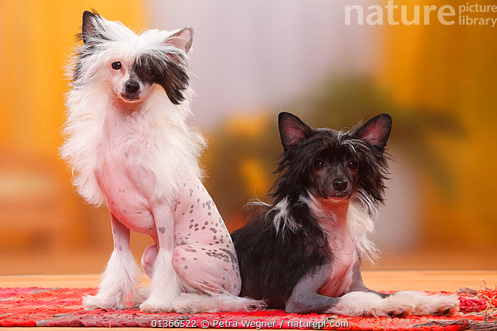 Chinese Crested Dogs, hairless puppies, 4 1/2 months / bitch.  ,  BABIES,COLOUR DIMORPHISM,CUTE,DOGS,FEMALES,FRIENDS,GROUPS,INDOORS,LOOKING AT CAMERA,LYING,PETS,PORTRAITS,SITTING,SMALL,VERTEBRATES,YOUNG,Canids  ,  Petra Wegner