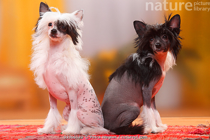 Chinese Crested Dogs, hairless puppies, 4 1/2 months / bitch.  ,  BABIES,COLOUR DIMORPHISM,CUTE,DOGS,FEMALES,FRIENDS,GROUPS,INDOORS,LOOKING AT CAMERA,PETS,PORTRAITS,SITTING,SMALL,TWO,VERTEBRATES,YOUNG,Canids  ,  Petra Wegner