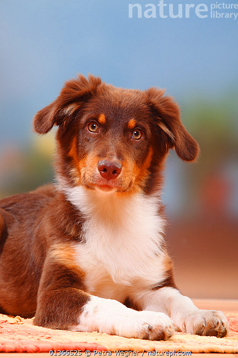 Australian Shepherd, red-tricolour, 5 months.  ,  CUTE,DOGS,HEADS,INDOORS,LOOKING AT CAMERA,LYING,MEDIUM DOGS,PASTORAL DOGS,PETS,PORTRAITS,VERTEBRATES,VERTICAL,Canids  ,  Petra Wegner