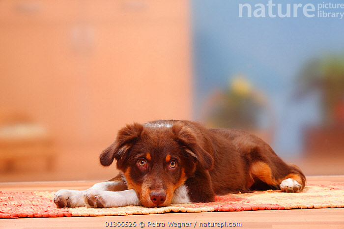 Australian Shepherd, red-tricolour, 5 months.  ,  CUTE,DOGS,INDOORS,LOOKING AT CAMERA,LYING,MEDIUM DOGS,PASTORAL DOGS,PETS,PORTRAITS,VERTEBRATES,Canids  ,  Petra Wegner