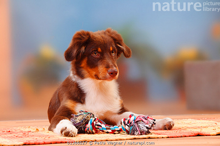 Australian Shepherd, red-tricolour, 5 months, lying with toy.  ,  CUTE,DOGS,INDOORS,LOOKING AT CAMERA,LYING,MEDIUM DOGS,PASTORAL DOGS,PETS,PLAY,PLAYING,PORTRAITS,TOY,VERTEBRATES,Communication,Canids  ,  Petra Wegner