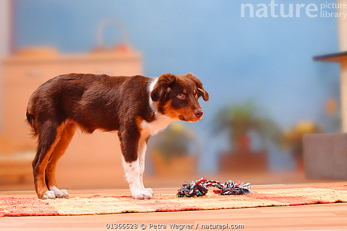 Australian Shepherd, red-tricolour, 5 months, with toy.  ,  CUTE,DOGS,INDOORS,MEDIUM DOGS,PASTORAL DOGS,PETS,PLAY,PLAYING,PORTRAITS,PROFILE,STANDING,TOY,VERTEBRATES,Communication,Canids  ,  Petra Wegner