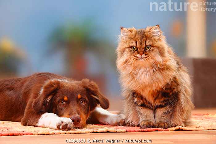 Australian Shepherd, red-tricolour, 5 months, and British Longhair Cat / Highlander / Lowlander / Britannica.  ,  CUTE,DOGS,FRIENDS,GROUPS,INDOORS,LOOKING AT CAMERA,LYING,MEDIUM DOGS,MIXED SPECIES,PASTORAL DOGS,PETS,PORTRAITS,SITTING,TWO,VERTEBRATES,Canids  ,  Petra Wegner