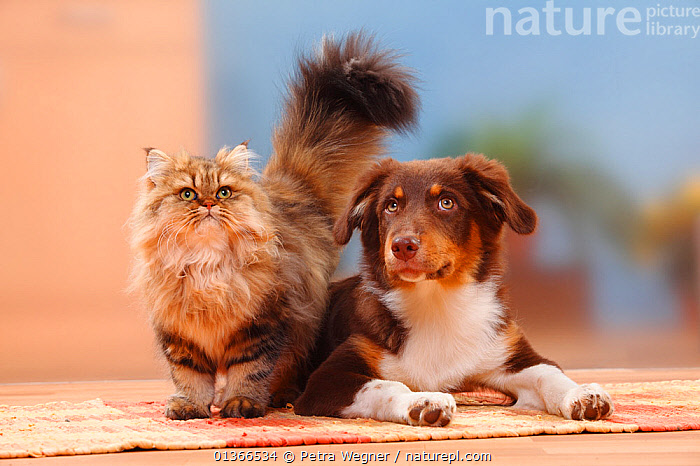 Australian Shepherd, red-tri, 5 months, and British Longhair Cat / Highlander / Lowlander / Britannica.  ,  CUTE,DOGS,FRIENDS,GROUPS,INDOORS,LOOKING AT CAMERA,MEDIUM DOGS,MIXED SPECIES,PASTORAL DOGS,PETS,PORTRAITS,STANDING,VERTEBRATES,Canids  ,  Petra Wegner