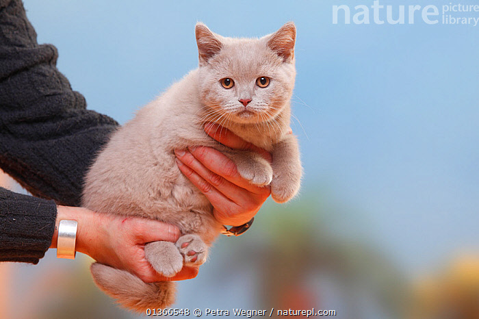 British Shorthair Cat, kitten, fawn, 3 months, being held.  ,  BABIES,CATS,CUTE,INDOORS,KITTENS,PEOPLE,PETS,PORTRAITS,SMALL,VERTEBRATES,YOUNG  ,  Petra Wegner