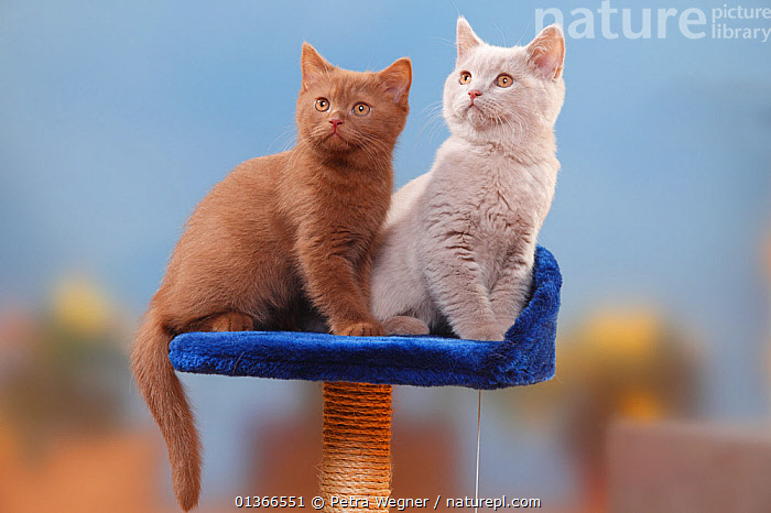 British Shorthair Cats, kittens, cinnamon and fawn, 3 months.  ,  BABIES,CATS,COLOUR DIMORPHISM,CUTE,FAMILIES,FRIENDS,INDOORS,KITTEN,KITTENS,PETS,PORTRAITS,SIBLINGS,SITTING,TWO,VERTEBRATES,YOUNG  ,  Petra Wegner